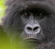 Rwanda - Gorillas